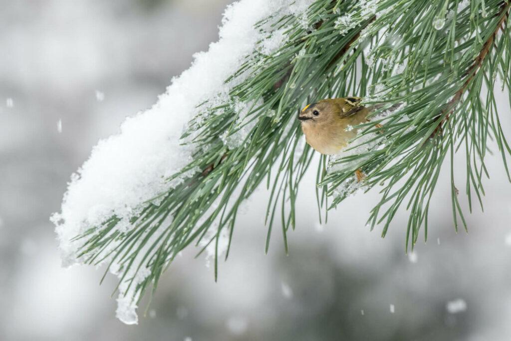 Wintergoldhähnchen im Winter