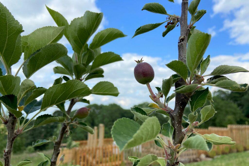 Apfelbaum James Grieve mit kleinen Früchten