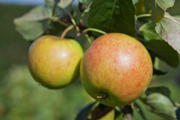 Apfel 'James Grieve': Anbau, Ernte & Verwendung