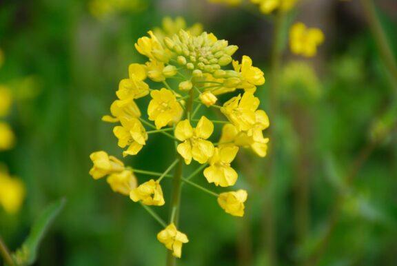 Senfpflanze: Herkunft, Blüte & Senf-Ernte
