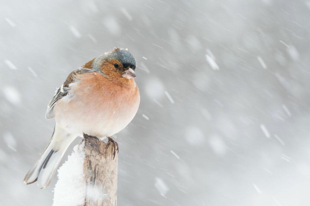 männlicher Buchfink im Winter