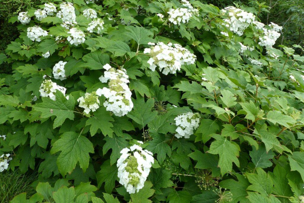 Eichenblättrige Hortensie mit weißen Blüten