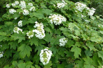 Eichenblättrige Hortensie: Sorten, Standort & Pflege