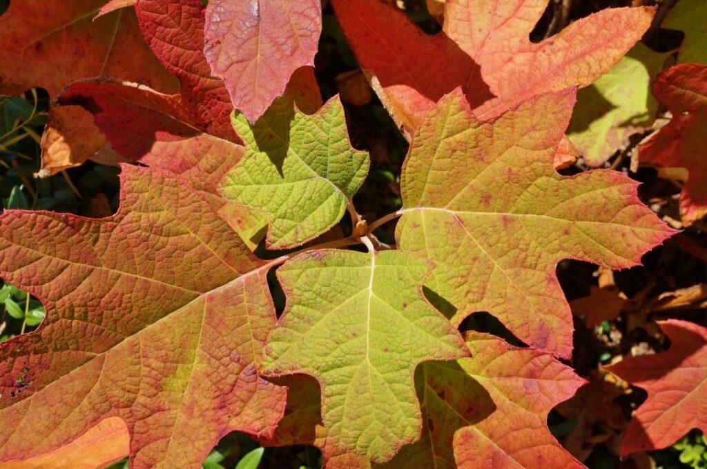 Herbstfärbung der Eichenblättrigen Hortensie