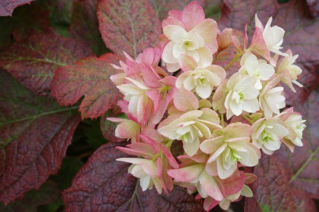Blüten der Eichenblättrigen Hortensie