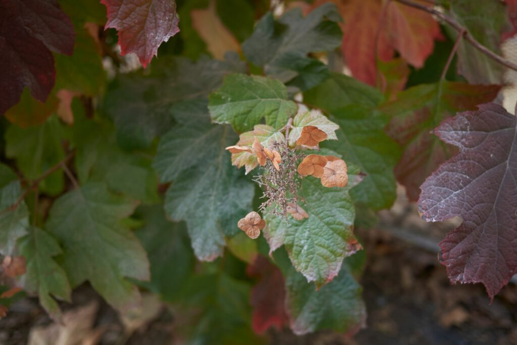 Blätter der Eichen-Hortensie