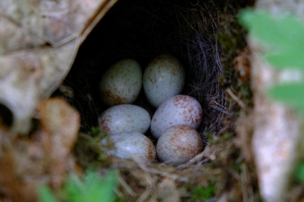 Fitis-Eier im Nest