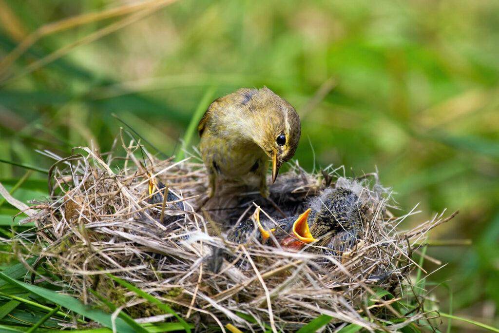 Fitis-Jungvögel im Nest