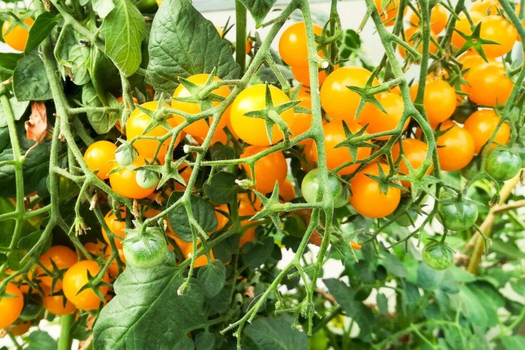 reife Galapagos-Tomaten am Strauch