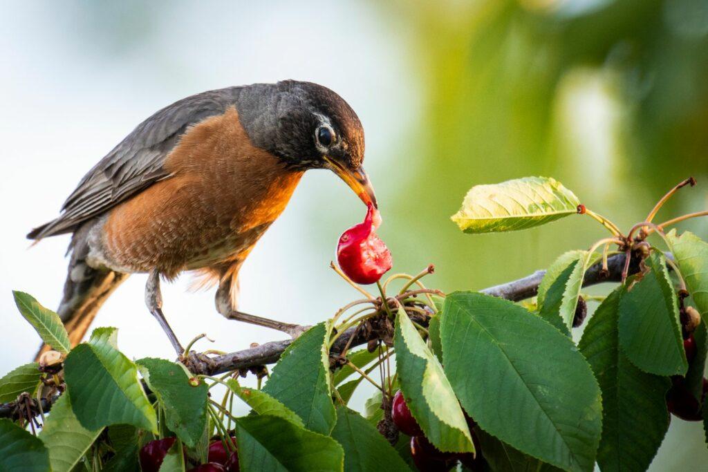 Vogel pickt an einer Kirsche