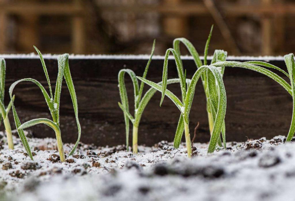 Hochbeet im Winter bepflanzt