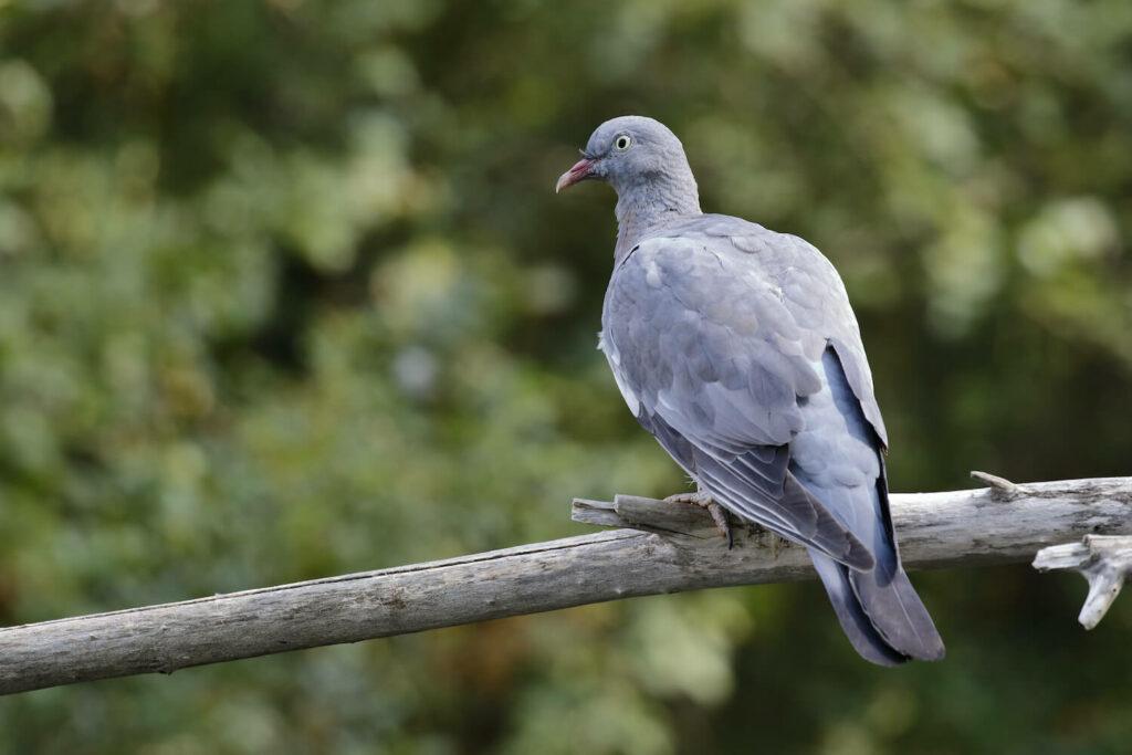 Ringeltauben-Jungvogel
