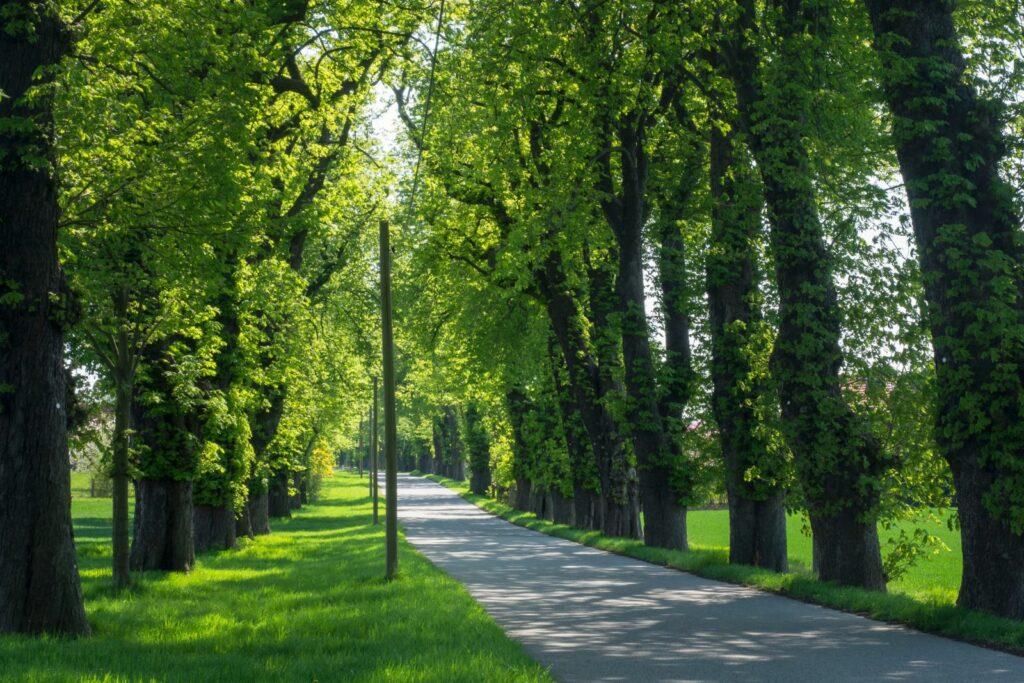 Allee mit Laubbäumen