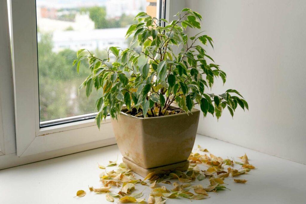 Topfpflanze mit trockenen Blättern