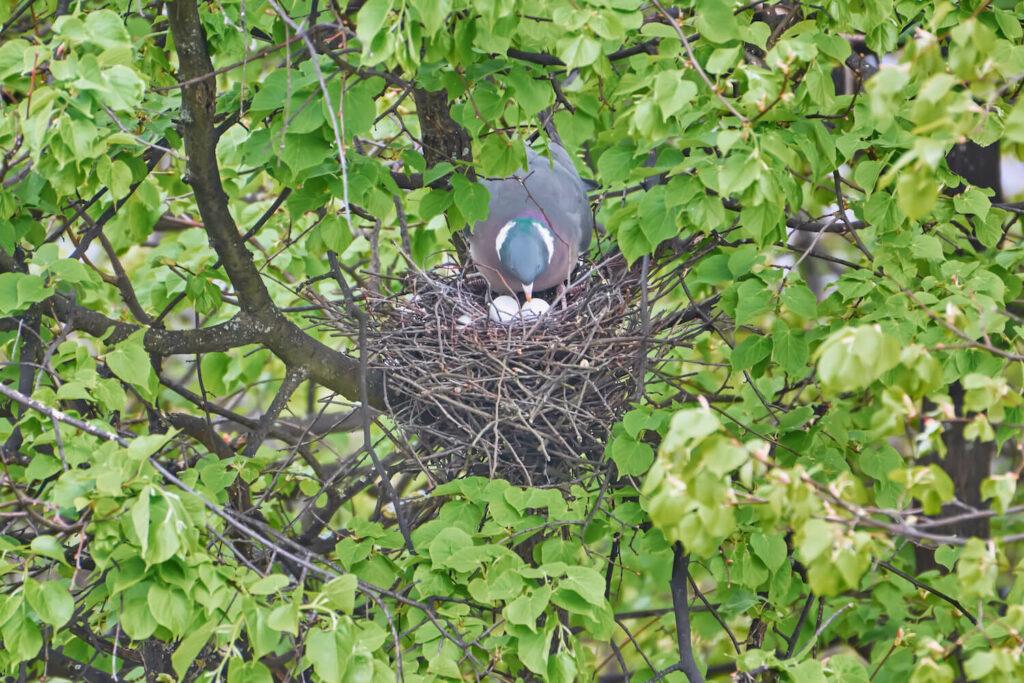 Ringeltaube im Nest