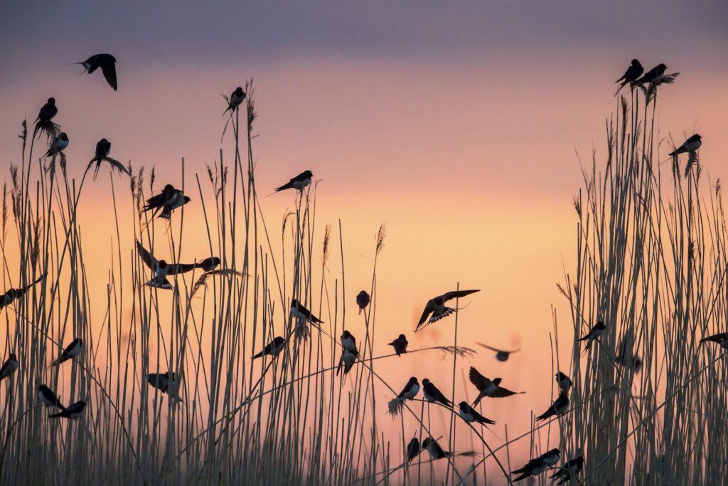 Schwalben vor Vogelzug