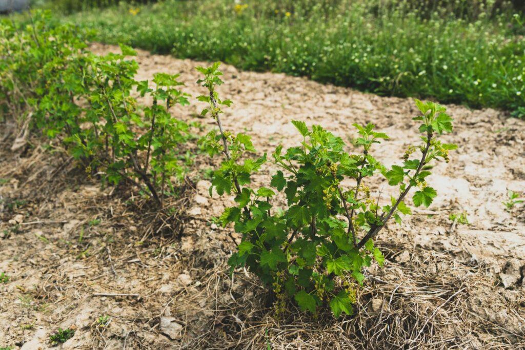 Junge schwarze Johannisbeer-Sträucher im Garten