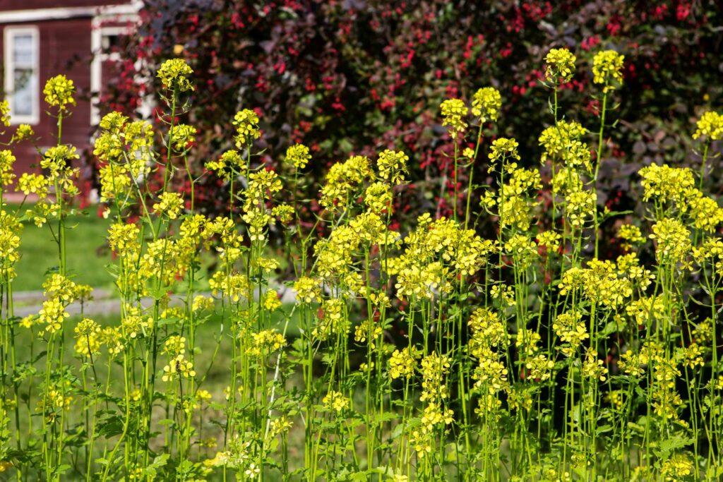 blühende Senfpflanzen im Garten
