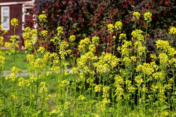 Senf pflanzen: Aussaat & Senf als Gründüngung