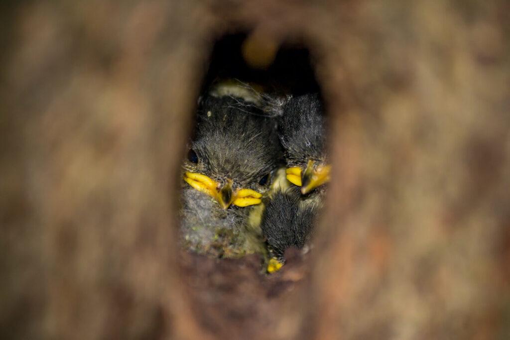 Tannenmeisen-Nest mit Jungvögeln