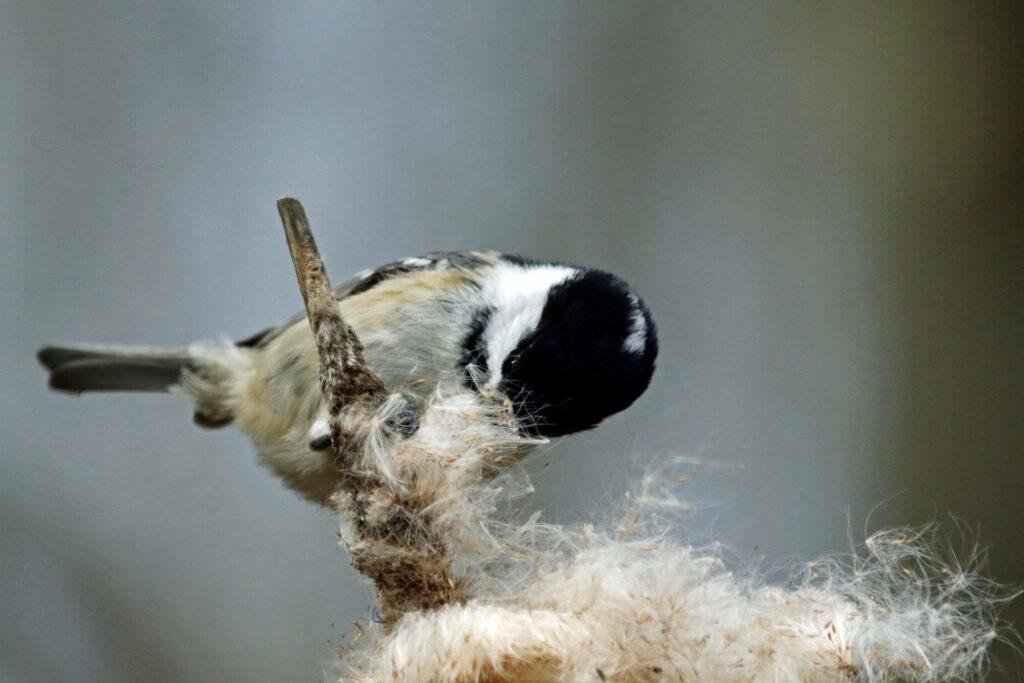 Tannenmeise beim Nestbau