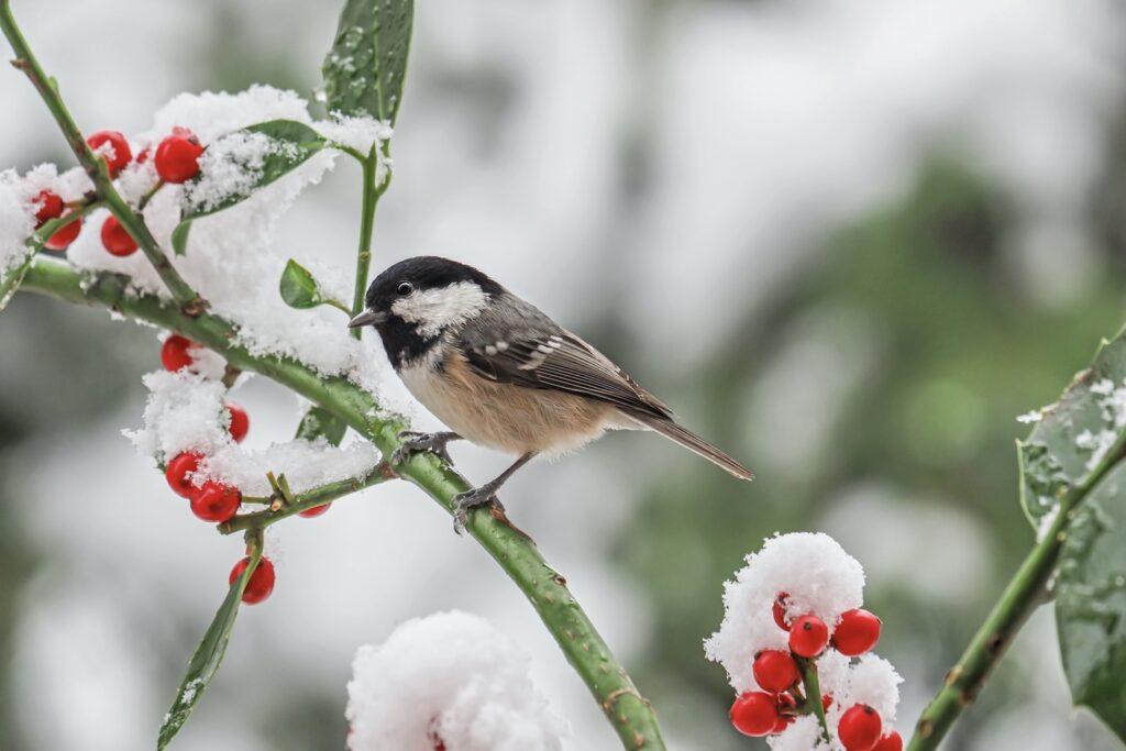 Tannenmeise im Winter