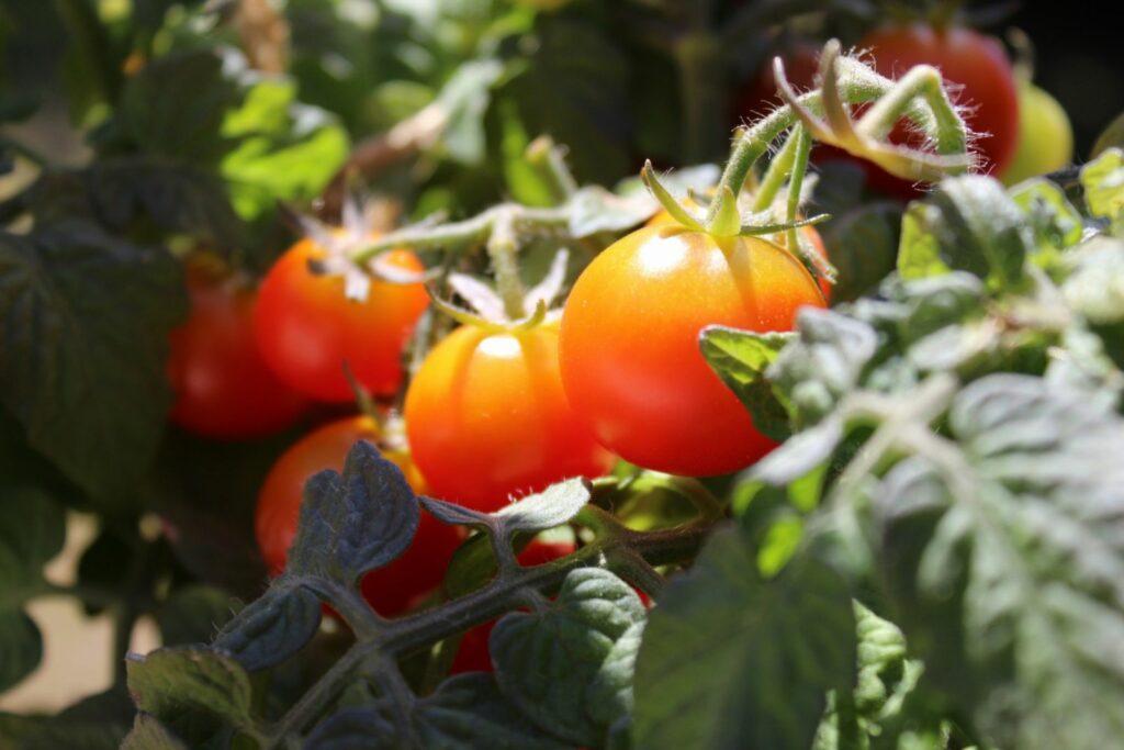 Tiny Tim Tomaten am Strauch