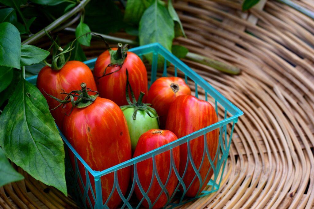 Tomaten der Sorte Striped Roman