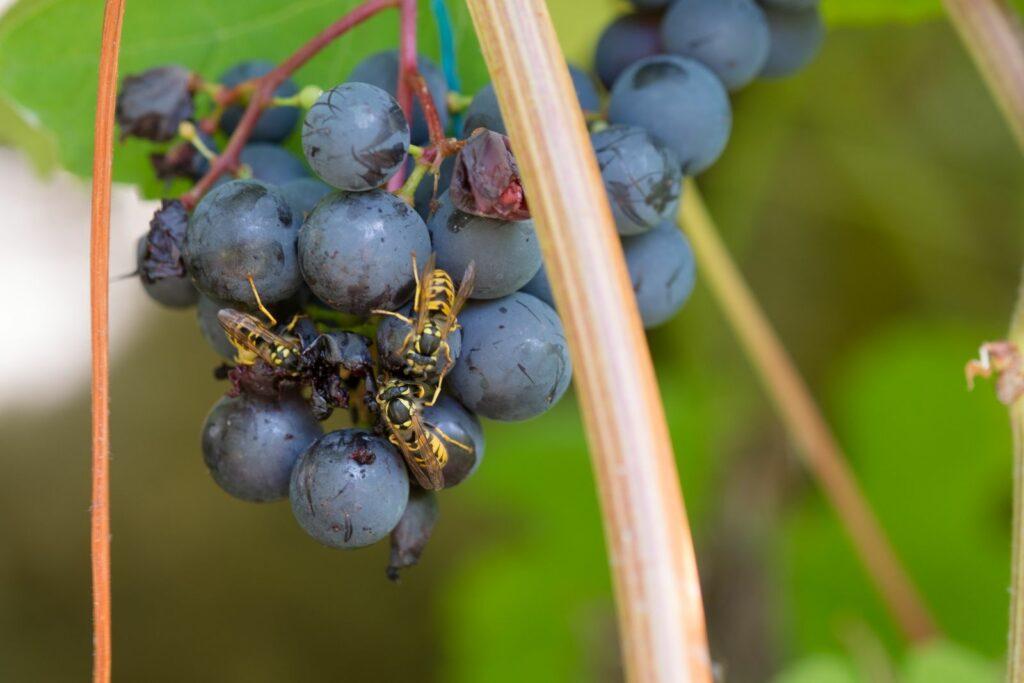 Wespen auf Weintrauben
