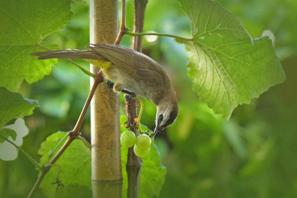 Vogel frisst Weintraube