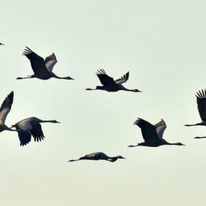 Vogelzug Der Kraniche