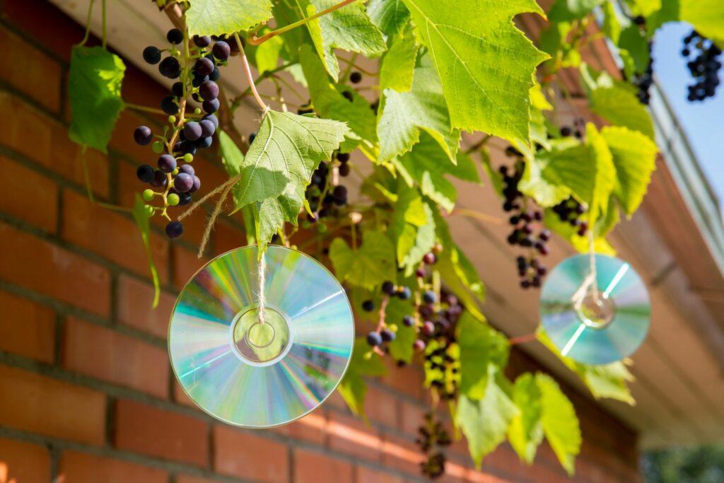CDs an einer Schnur zum Schutz von Weintrauben vor Vögeln