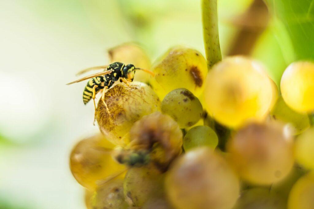 Wespe auf Weintraubenrebe
