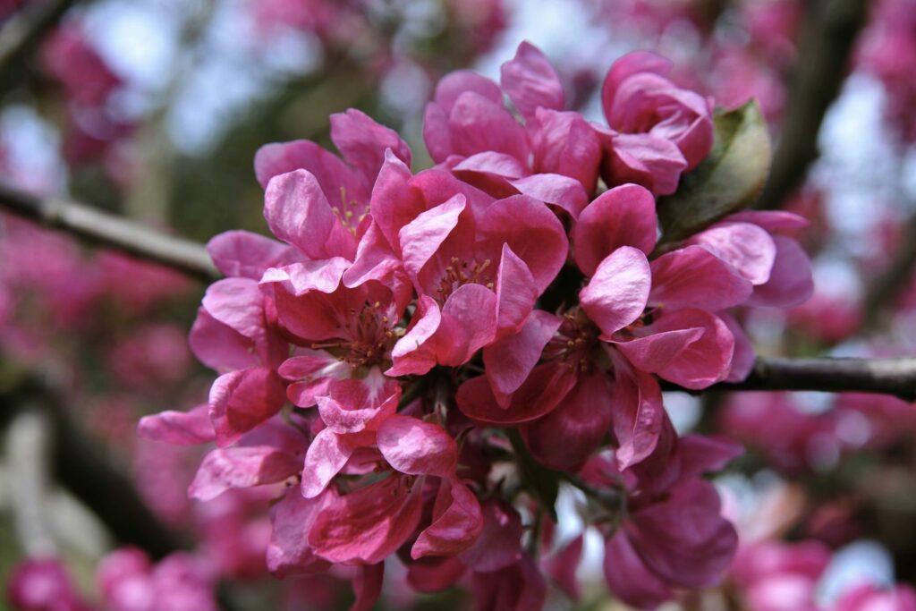 rosa-rote Blüten des Apfelbaums Baya Marisa
