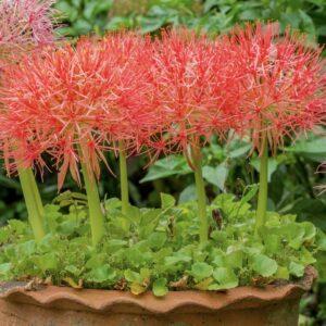 Blutblume: Pflege, Standort & Blütezeit