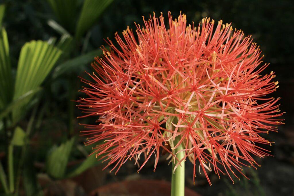blühende Blutblume