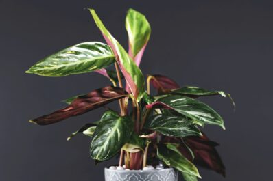 Korbmarante: Steckbrief, Pflanzen & Pflege-Tipps