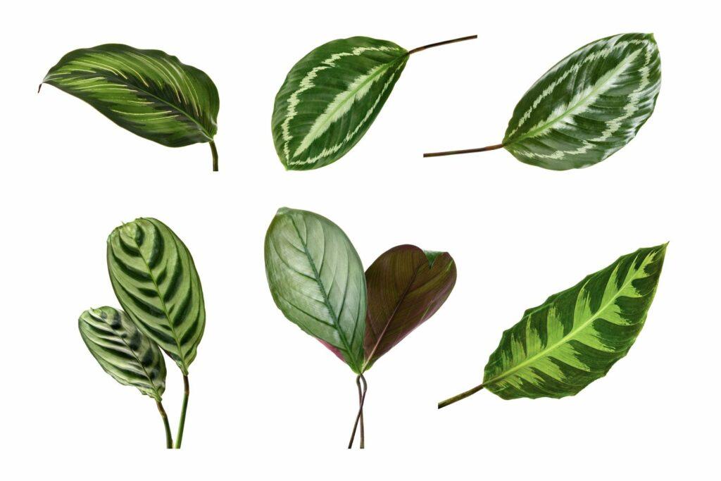 Blätter von verschiedenen Calathea-Arten