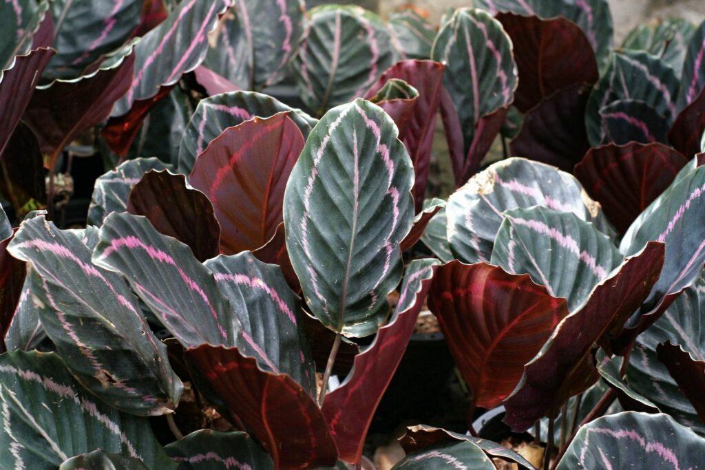 Calathea-Blätter mit purpurfabener Unterseite