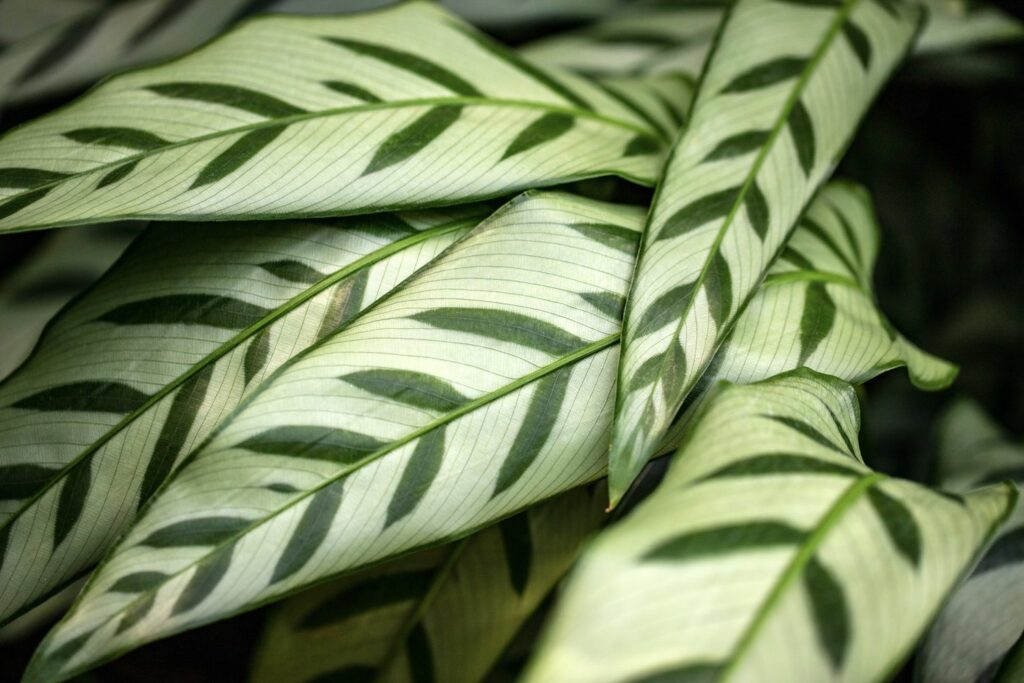Blätter der Calathea leopardina