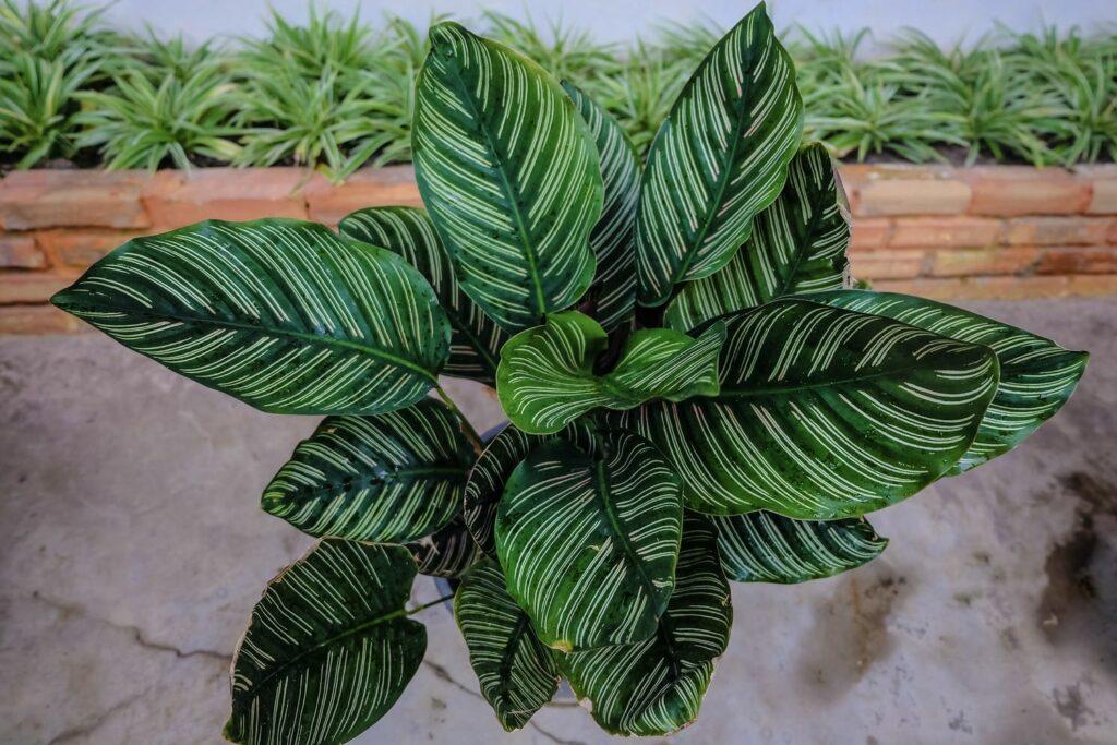 Calathea ornata mit gestreiften Blättern