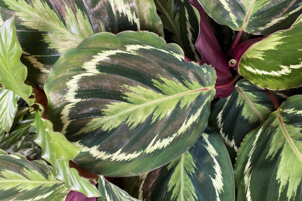 Blätter der Calathea roseoptica