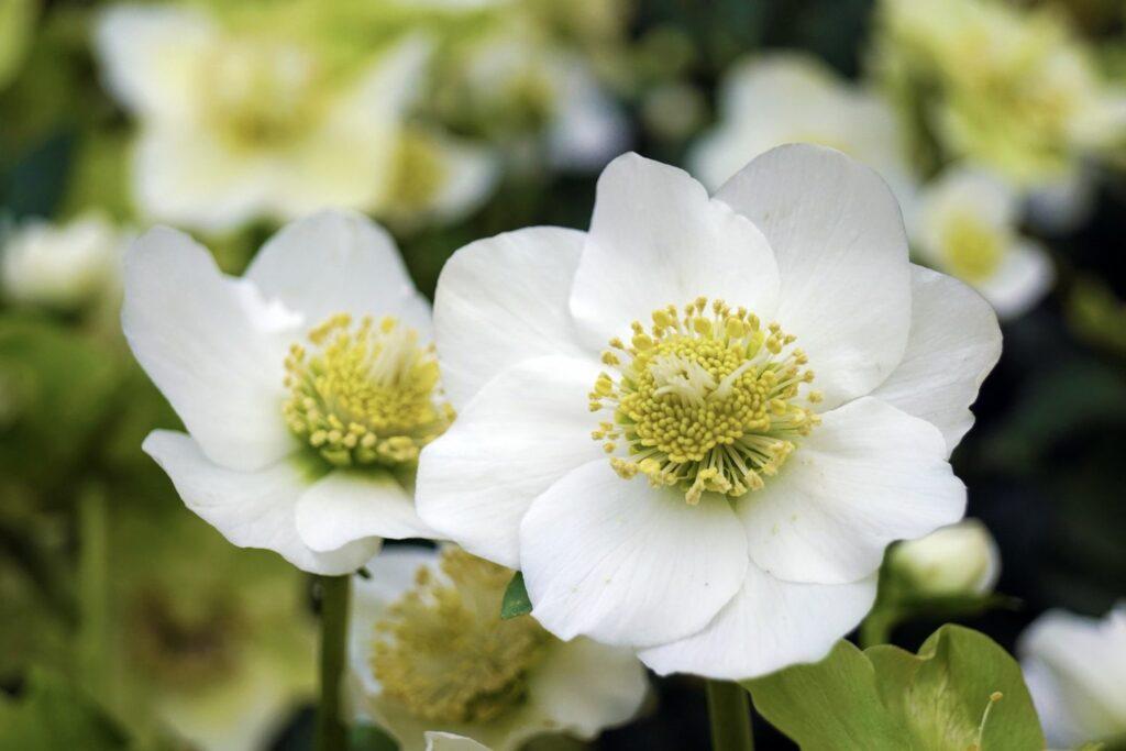 Blühende Christrose
