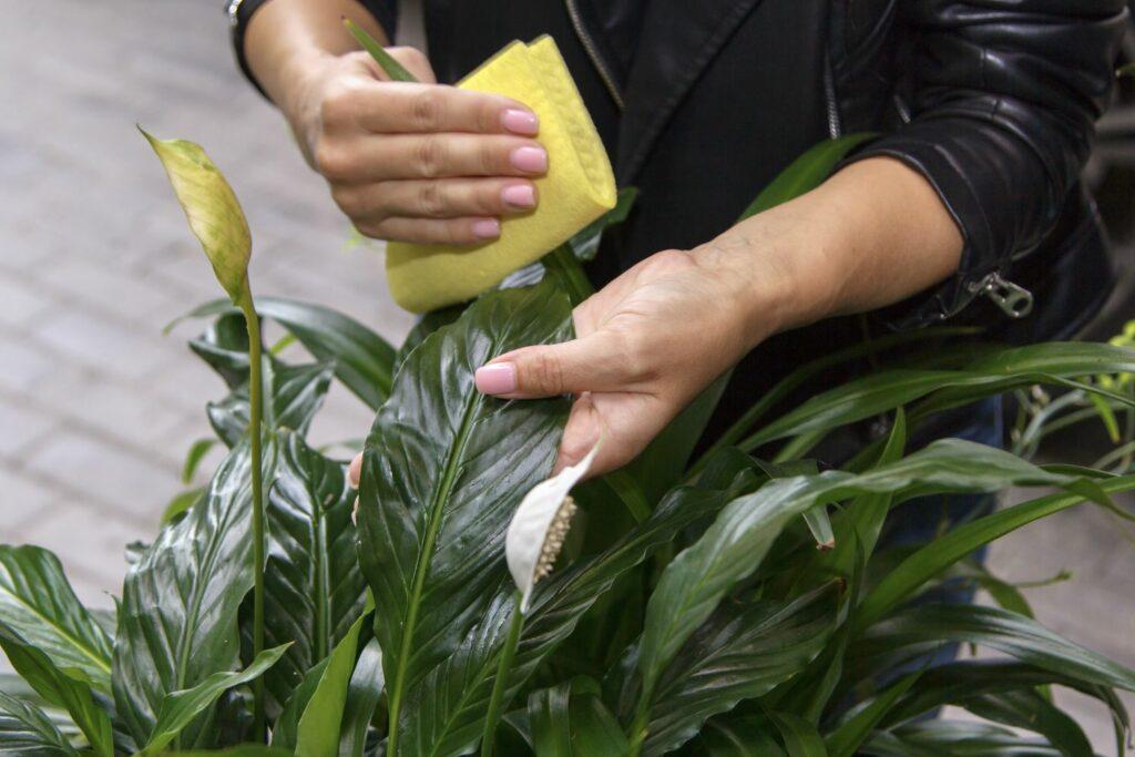 Blätter des Einblatts werden geputzt