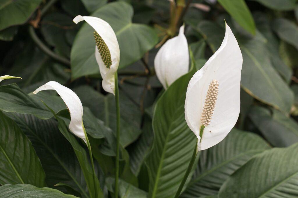 Blühendes Einblatt