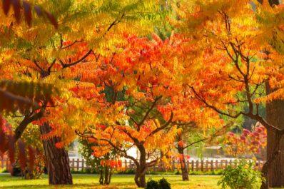 Essigbaum: Alles zu Sorten, Pflanzen & Pflege