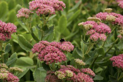 Fetthenne: Pflanzen, Pflegen & schöne Sorten im Überblick