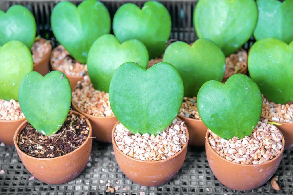 Herzblatt-Pflanzen im Topf