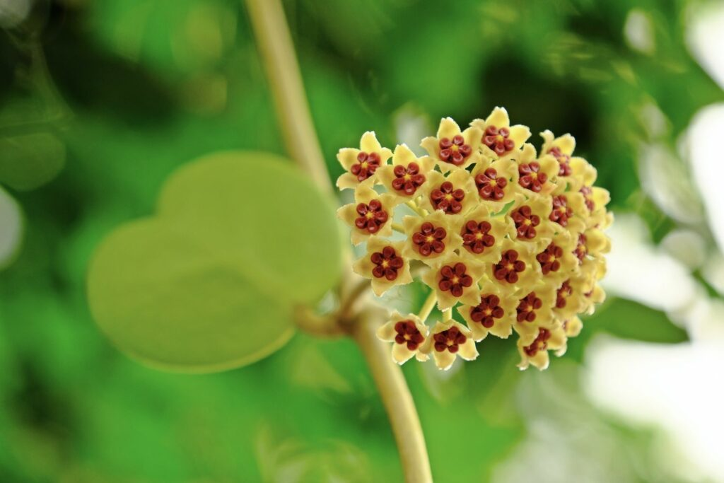 blühende Herzblatt-Pflanze