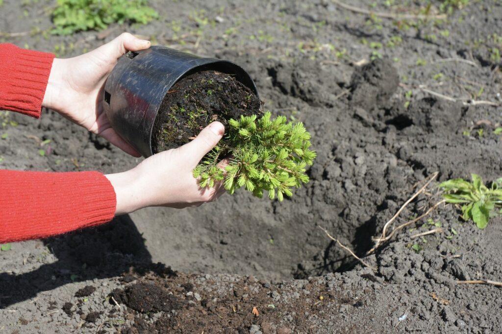 Immergrüne Pflanze eingesetzt